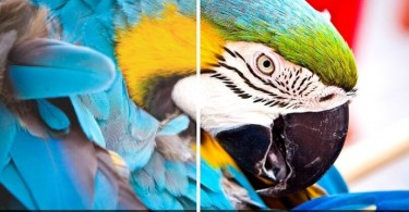 Imagem de uma arara azul divida entre as duas resoluções para fins de comparação